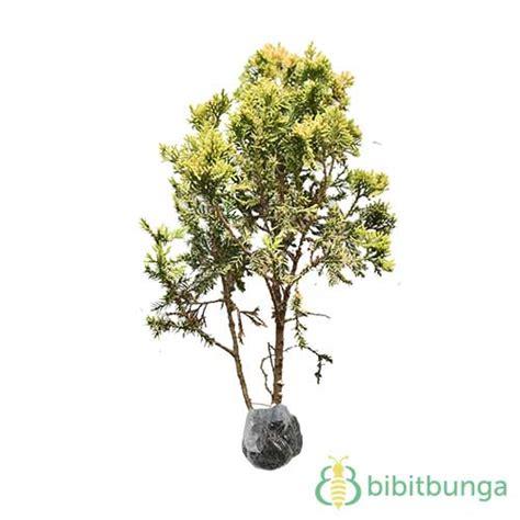 Tanaman Daun Cemara Golden Malaika tanaman cemara golden peking jual tanaman hias