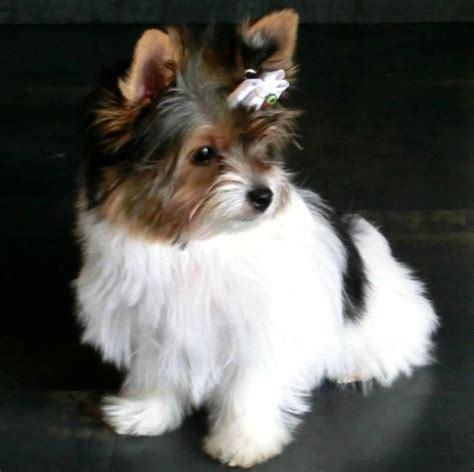 biewer terrier haircuts biewer yorkie haircuts excellence hairstyles gallery