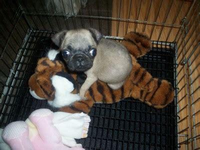 pug poodle mix hypoallergenic bichon frise maltese poodle shih tzu designer breeds puppy sales blue ribbon