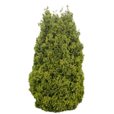 top 28 small conifer trees large small conifer trees buy large small conifer architectural