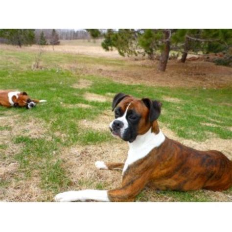 boxer puppies for sale in mn subzero boxers boxer stud in aitkin minnesota