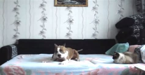 bed dance dog was told stay off the furniture hidden camera
