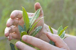 pflanze mit großen blättern descubre qu 233 las giberelinas auxinas y citoquininas