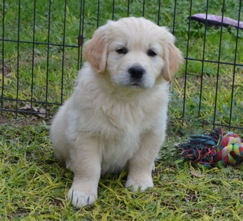 golden retriever puppies chattanooga tn chadeaus chattanooga choo choo owned by dykstra