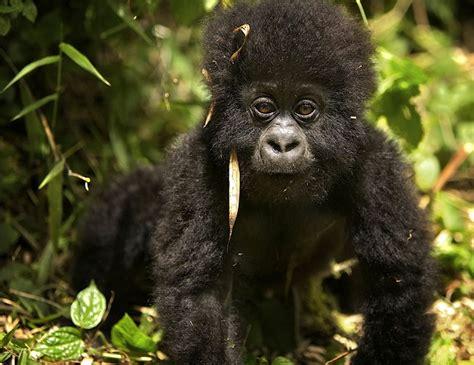 Mountain Gorilla Facts, Habitat, Diet, Life Cycle, Baby ...