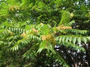 common backyard trees walnut common s california backyard tree