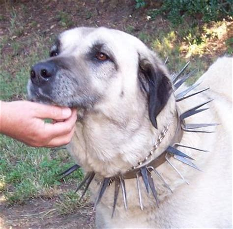 spiked puppy collars spike collars just for the boys the three