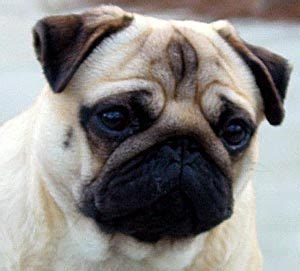 what were pugs bred for what was the original purpose for which pugs were bred the pugs trivia quiz fanpop