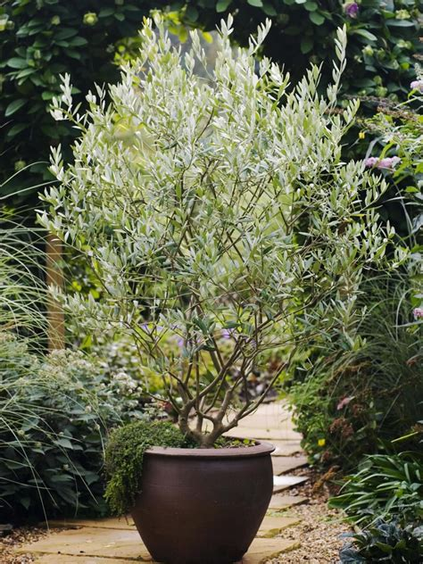 olive tree care grow  olive tree indoors potted olive