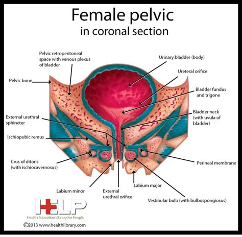 inflammation of the lower section of the uterus 1000 images about female reproductive system on pinterest