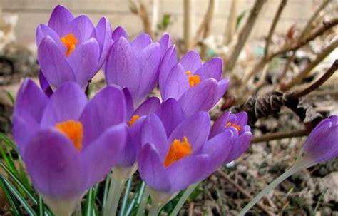 fiori di marzo l orto dei colori fiori di inizio marzo