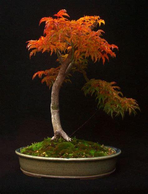 bonsai with japanese maples 0881928097 shishigashira japanese maple bonsai jpg 500 215 655 bonsai ideas art the o jays