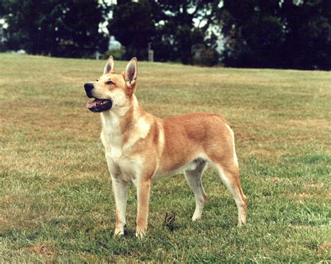carolina dogs and unique breeds pet attack