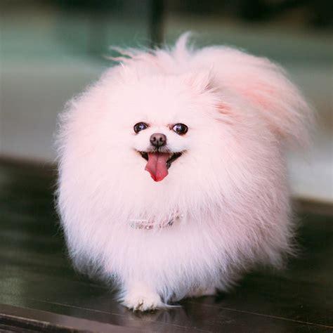 pink pomeranian vanderpump pets pet worth