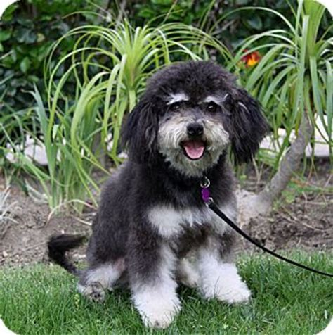 havanese miniature poodle mix bixby adopted newport ca havanese poodle miniature mix