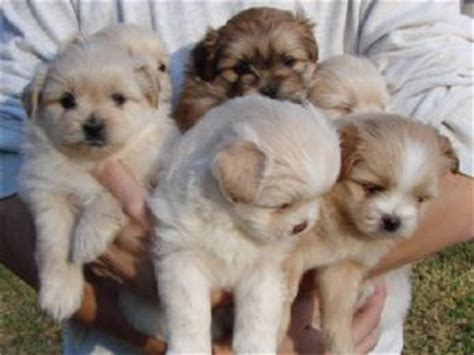 shih tzu puppies for sale in sacramento ca shih tzu puppies in california