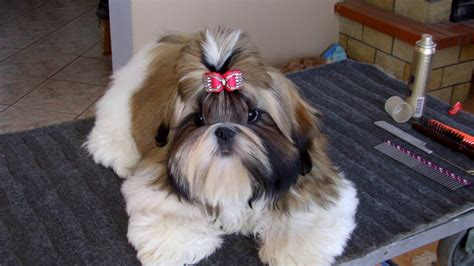 best shoo for shih tzu puppy best hair products show shih tzu shih tzu puppy show grooming