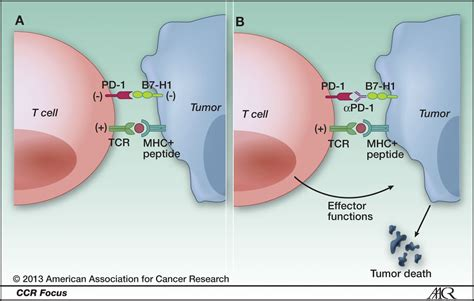 cancer immunotherapy projections immune checkpoint inhibitors lead the way cancer biology