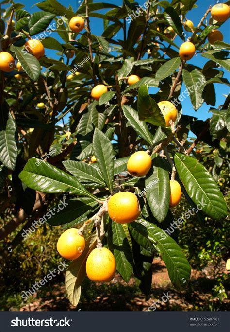 tree ripened fruit loquat tree loaded ripe fruit stock photo 52407781