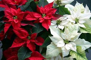 christmas plants caring for holiday poinsettia plants