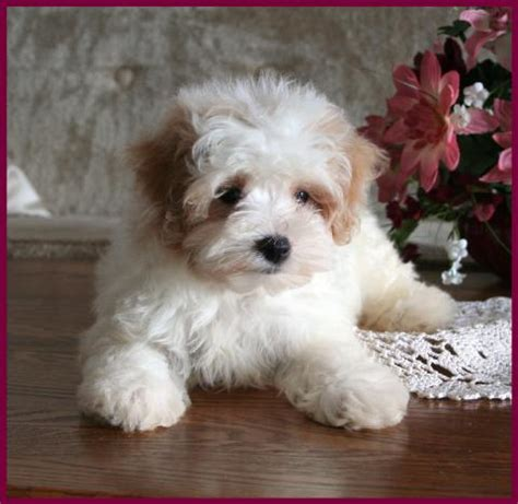 Maltipoo Shed by Maltipoo The Maltipoo Dogs Puppies Are