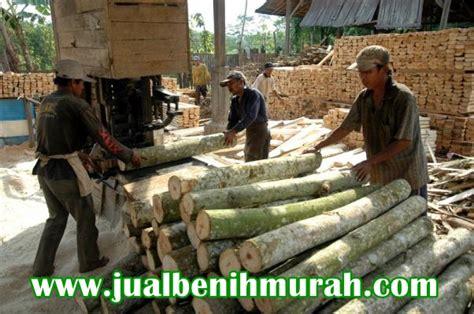 Bibit Sengon Terbaru pemotongan kayu sengon jualbenihmurah
