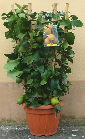 limoni coltivazione in vaso piante limone in vaso