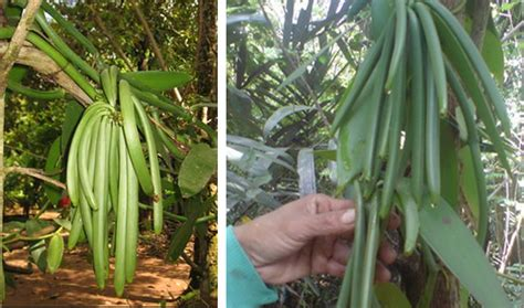 Budidaya Vanili Tahan Busuk Batang panen tanaman vanili detiktani