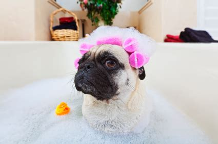 when can i bathe my shih tzu puppy surprisingly effective ways to improve your bath gracie lu shih tzu