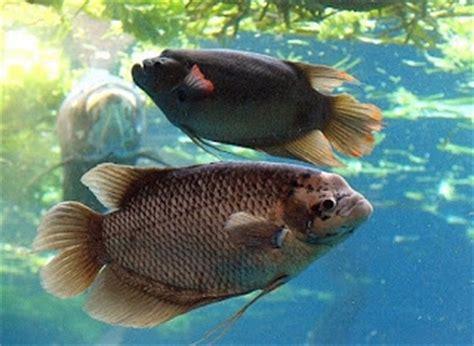Harga Kolam Terpal Ikan Gurame cara budidaya ikan gurame di kolam tanah