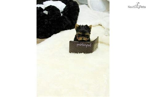 looking for a yorkie puppy 17 best images about teacup puppies for sale on poodles home and toys
