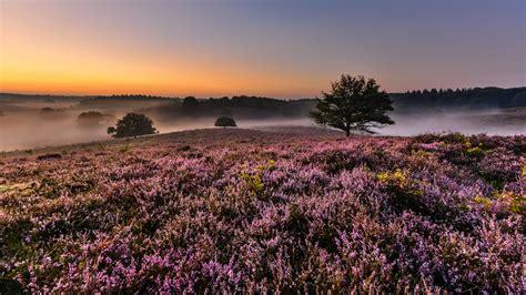 sunrise morning  veluwe netherlands heather flowers  bloom hills fog landscape hd wallpaper