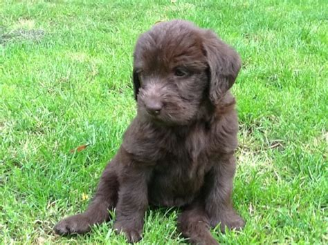 f1b labradoodle puppies for sale beautiful f1b labradoodle puppies for sale ipswich suffolk pets4homes