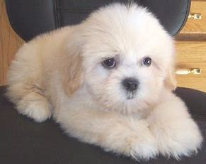 teddy puppies for sale in florida the gallery for gt black and white zuchon