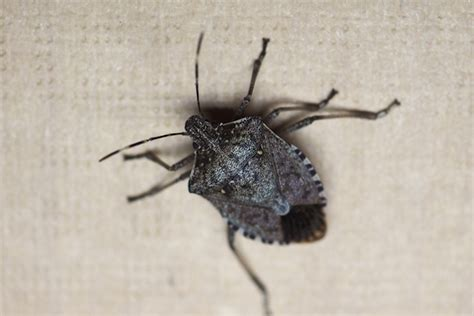 stink bugs in house michigan s stink bug problem griffin pest control