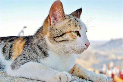 The Calico Cat   Cat Breeds Encyclopedia