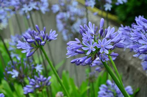 learn about nature agapanthus greek agape meaning love and anthos meaning flower learn