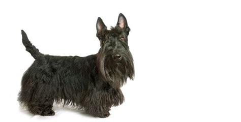 scottish dogs image gallery scottish