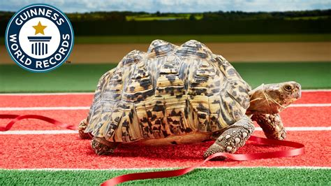 De Records Fastest Tortoise Guinness World Records