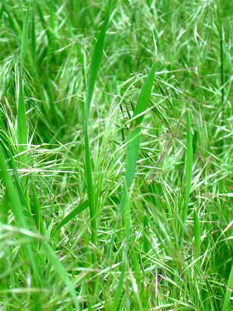 Grass Seeds by Pin Grass Seed On