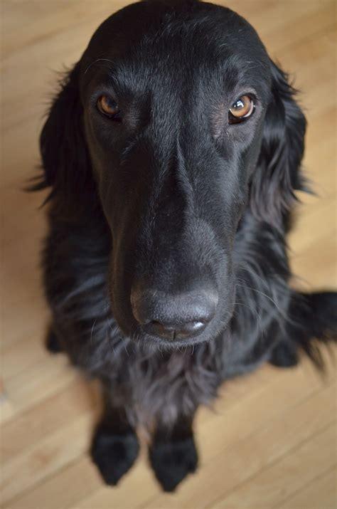 flat coated retriever flat my flat coated retriever gus c 227 es flat coated retriever dog and animal