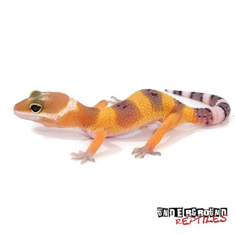 leopard gecko heat l leopard geckos for sale underground reptiles
