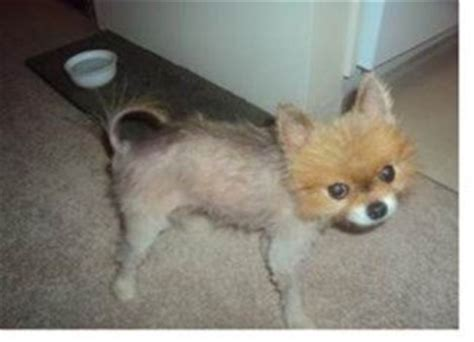 pomeranian alopecia x bsd black skin disease pomeranian information center