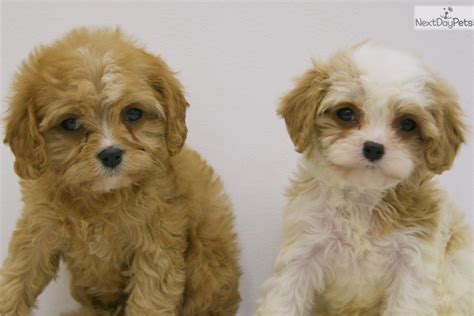 cavapoo puppies ohio cavapoo puppy for sale near columbus ohio d2f5dd4c 2f31