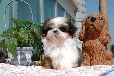 shih tzu barks much shih tzu shih tzu chihuahuas barking and the o jays
