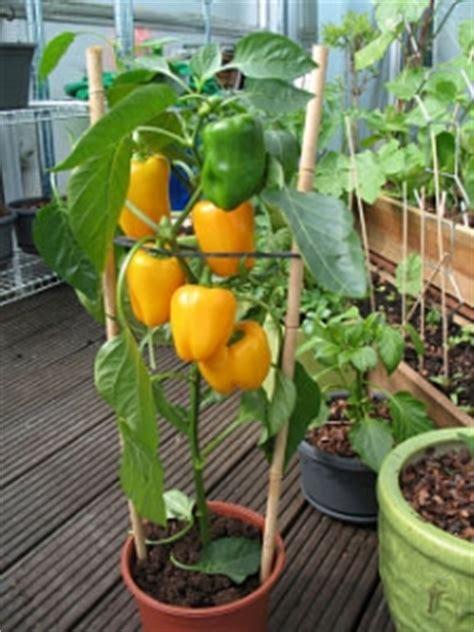 peperoni in vaso come coltivare i peperoni orto e vaso avr 242 cura di te