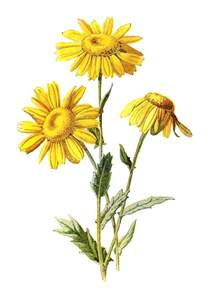 antique images free digital wildflower downloads