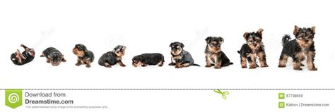 puppy growth stages stages of growth puppy terrier stock image image of hair 67738659