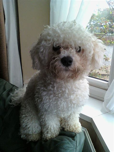 house trained dogs for sale bichon frise boy house trained loves everybody coalville leicestershire pets4homes