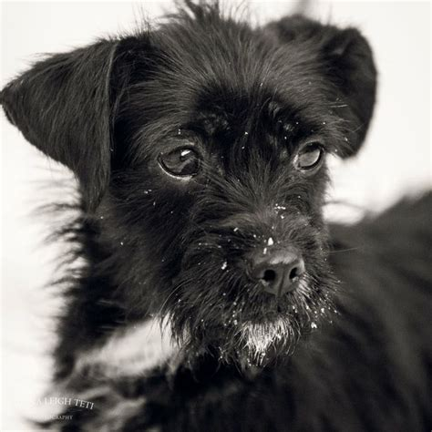pics of long hair dark browm terriers this golden girl is a two year old black wire haired